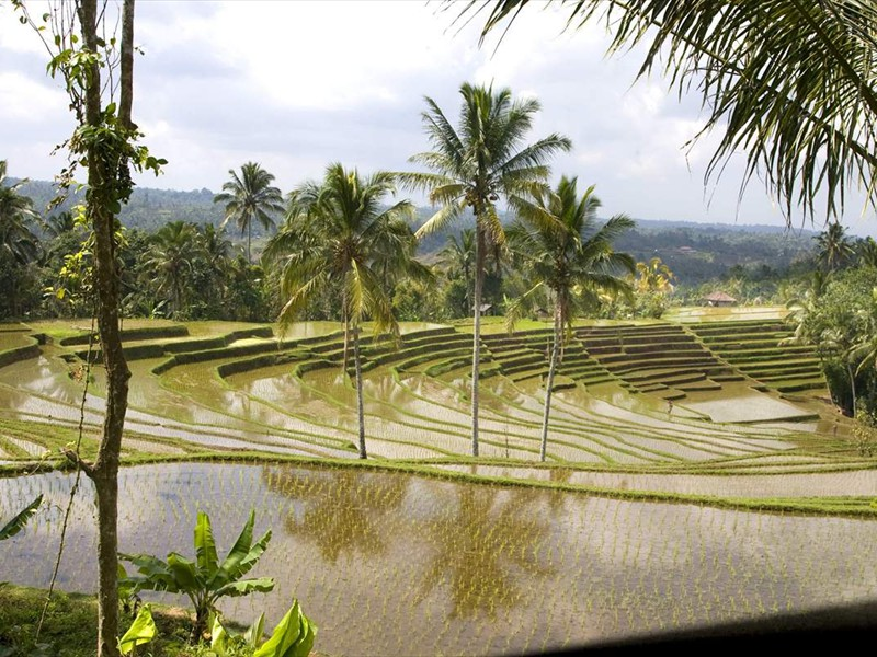 rijstvelden2