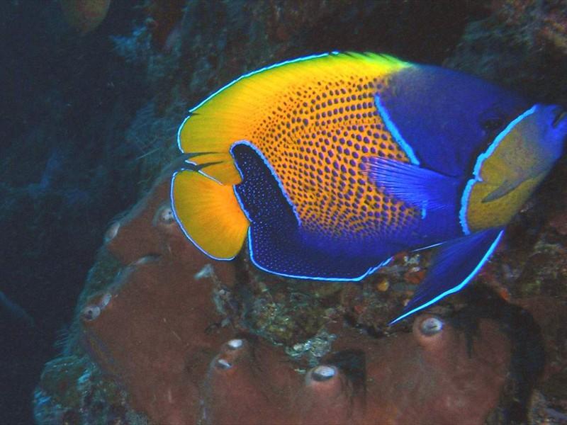 Euxiphipops navarchus Menjangan Post2 Cavern R(26)